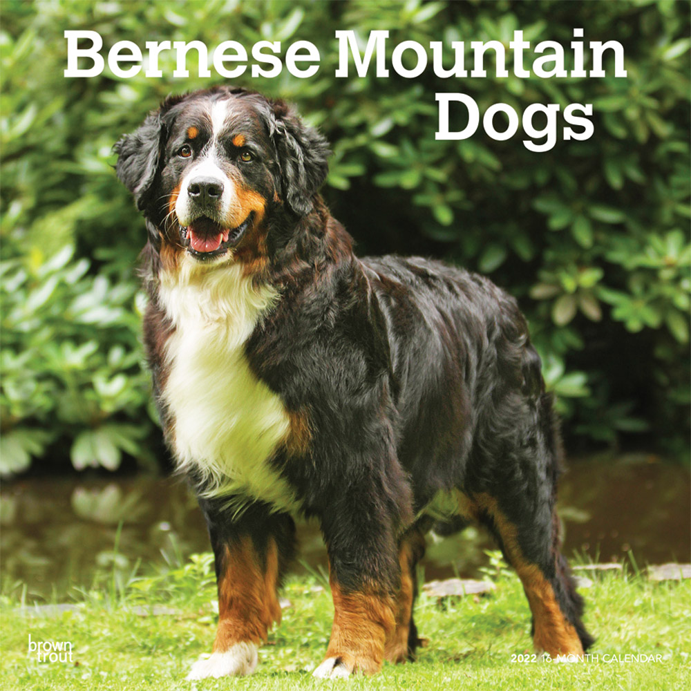 Bernese Mountain Dogs 2022 12 x 12 Inch Monthly Square Wall Calendar, Animals Breeds DogDays