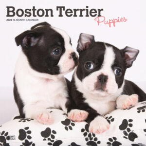 Boston Terrier Puppies 2022 12 x 12 Inch Monthly Square Wall Calendar, Animals Dog Breeds Puppy DogDays
