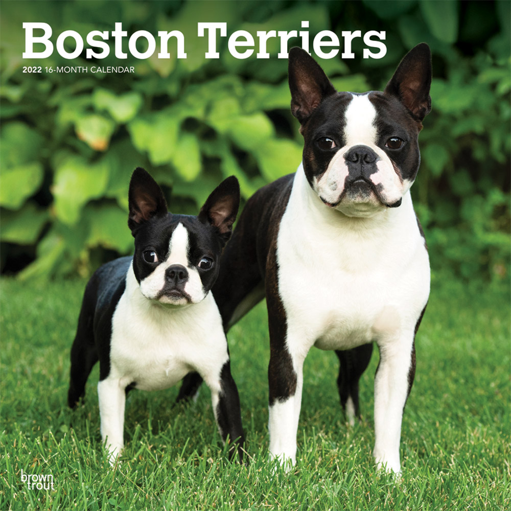 Boston Terriers 2022 12 x 12 Inch Monthly Square Wall Calendar, Animals Dog Breeds DogDays