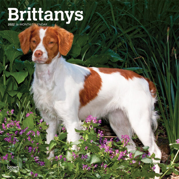 Brittanys 2022 12 x 12 Inch Monthly Square Wall Calendar, Animals Dog Breeds DogDays