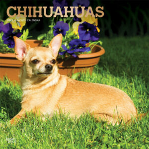 Chihuahuas 2022 12 x 12 Inch Monthly Square Wall Calendar with Foil Stamped Cover, Animals Small Dog Breeds Puppies DogDays