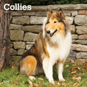 Collies 2022 12 x 12 Inch Monthly Square Wall Calendar, Animals Dog Breeds DogDays
