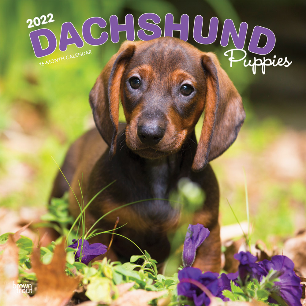 Dachshund Puppies 2022 12 x 12 Inch Monthly Square Wall Calendar, Animals Dog Breeds Puppy DogDays