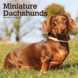 Miniature Dachshunds 2022 12 x 12 Inch Monthly Square Wall Calendar, Animals Small Dog Breeds DogDays