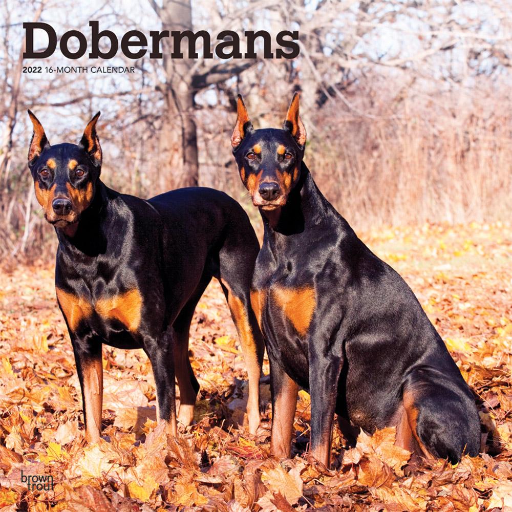 Dobermans 2022 12 x 12 Inch Monthly Square Wall Calendar, Animals Dog Breeds DogDays