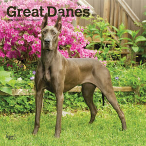 Great Danes 2022 12 x 12 Inch Monthly Square Wall Calendar, Animals Dog Breeds DogDays