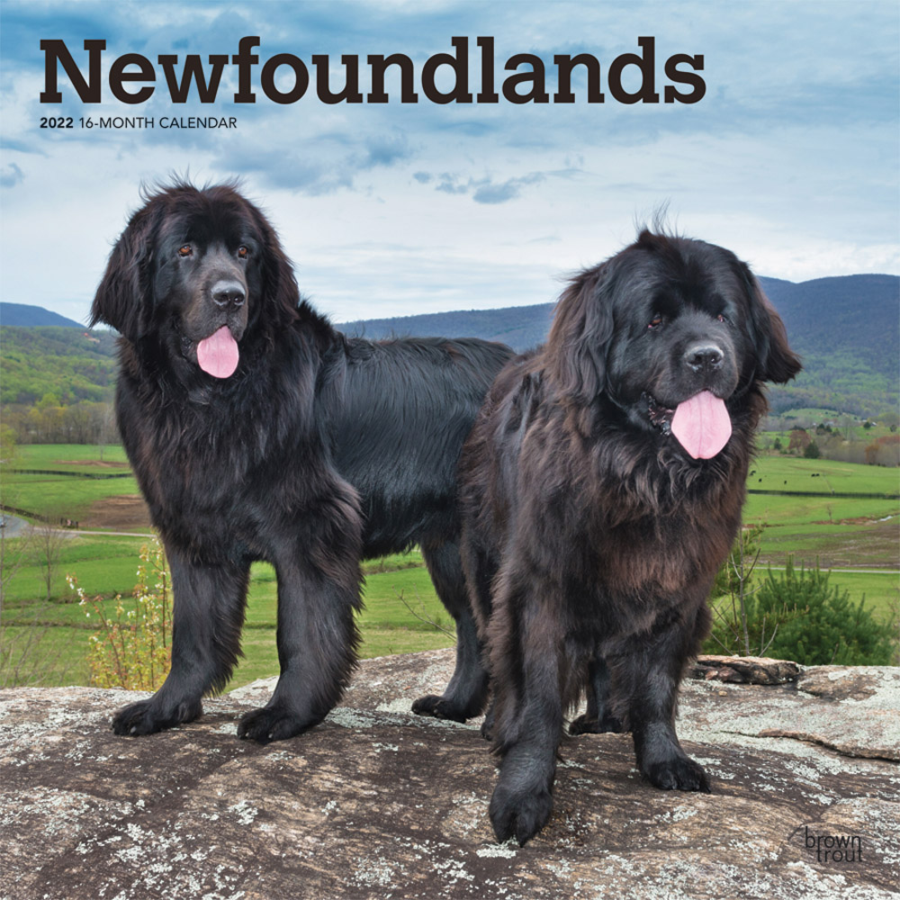 Newfoundlands 2022 12 x 12 Inch Monthly Square Wall Calendar, Animals Dog Breeds DogDays