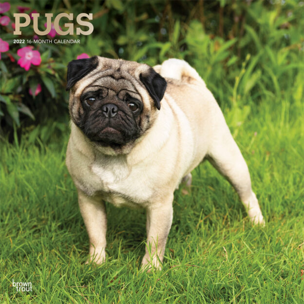 Pugs 2022 12 x 12 Inch Monthly Square Wall Calendar with Foil Stamped Cover, Animals Dog Breeds DogDays