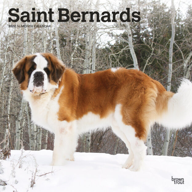 Saint Bernards 2022 12 x 12 Inch Monthly Square Wall Calendar, Animals Dog Breeds DogDays