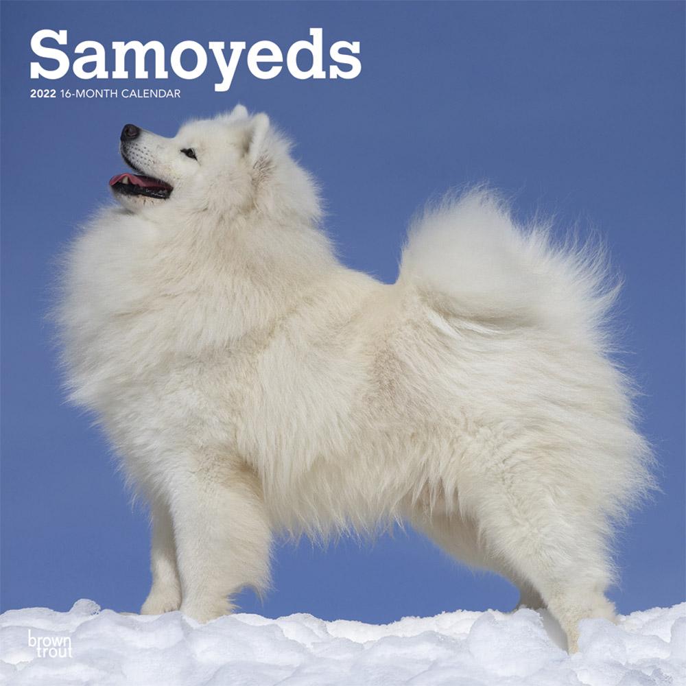 Samoyeds 2022 12 x 12 Inch Monthly Square Wall Calendar, Animals Dog Breeds DogDays