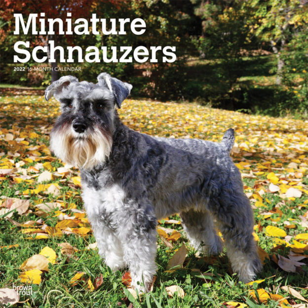 Miniature Schnauzers 2022 12 x 12 Inch Monthly Square Wall Calendar, Animals Small Dog Breeds DogDays