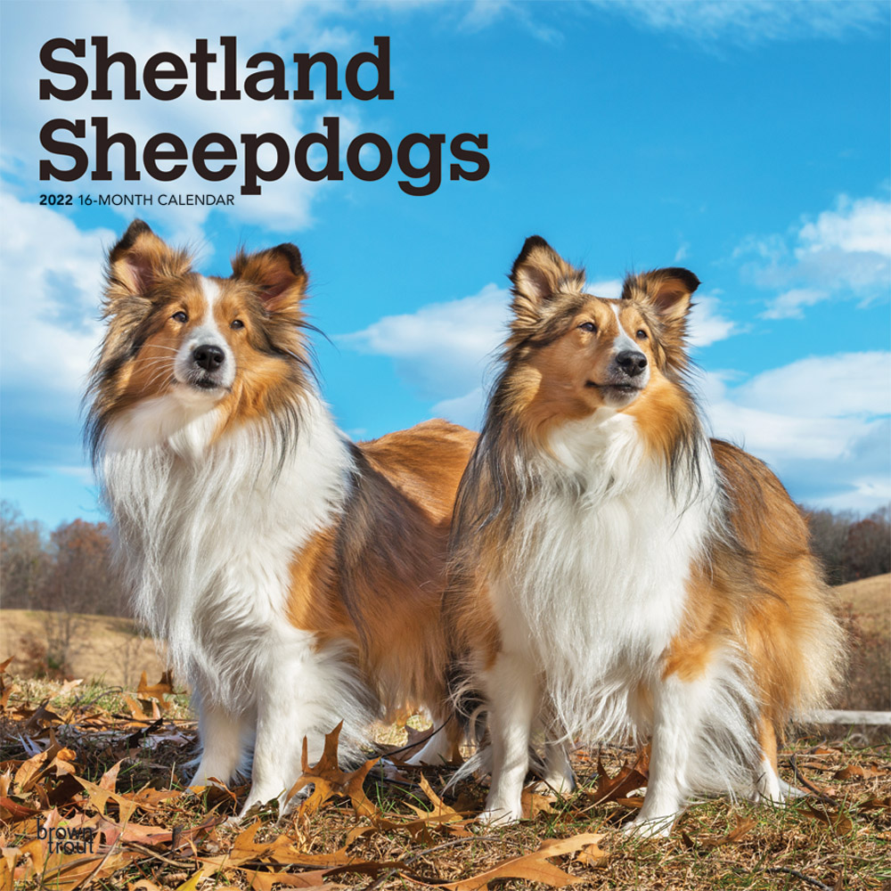 Shetland Sheepdogs 2022 12 x 12 Inch Monthly Square Wall Calendar, Animals Dog Breeds DogDays