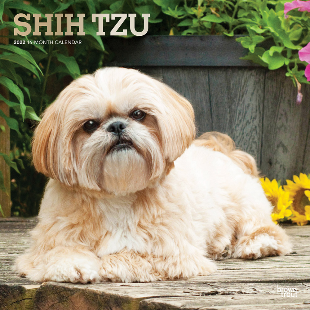 Shih Tzu 2022 12 x 12 Inch Monthly Square Wall Calendar with Foil Stamped Cover, Animals Small Dog Breeds DogDays