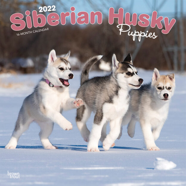 Siberian Husky Puppies 2022 12 x 12 Inch Monthly Square Wall Calendar, Animal Dog Breeds DogDays
