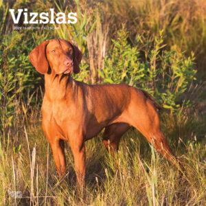Vizslas 2022 12 x 12 Inch Monthly Square Wall Calendar, Animals Dog Breeds DogDays