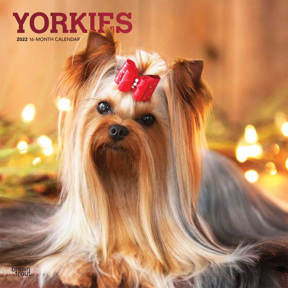 Yorkies 2022 12 x 12 Inch Monthly Square Wall Calendar with Foil Stamped Cover, Animals Small Dog Breeds Yorkshire Terriers DogDays