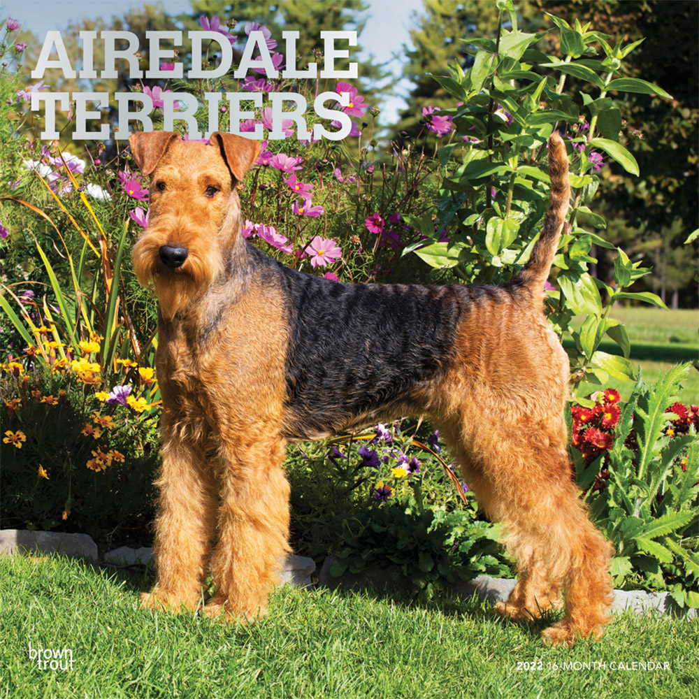 Airedale Terriers 2022 12 x 12 Inch Monthly Square Wall Calendar with Foil Stamped Cover, Animal Dog Breeds DogDays