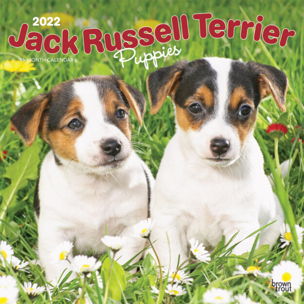Jack Russell Terrier Puppies 2022 12 x 12 Inch Monthly Square Wall Calendar, Animals Dog Breeds Puppy DogDays