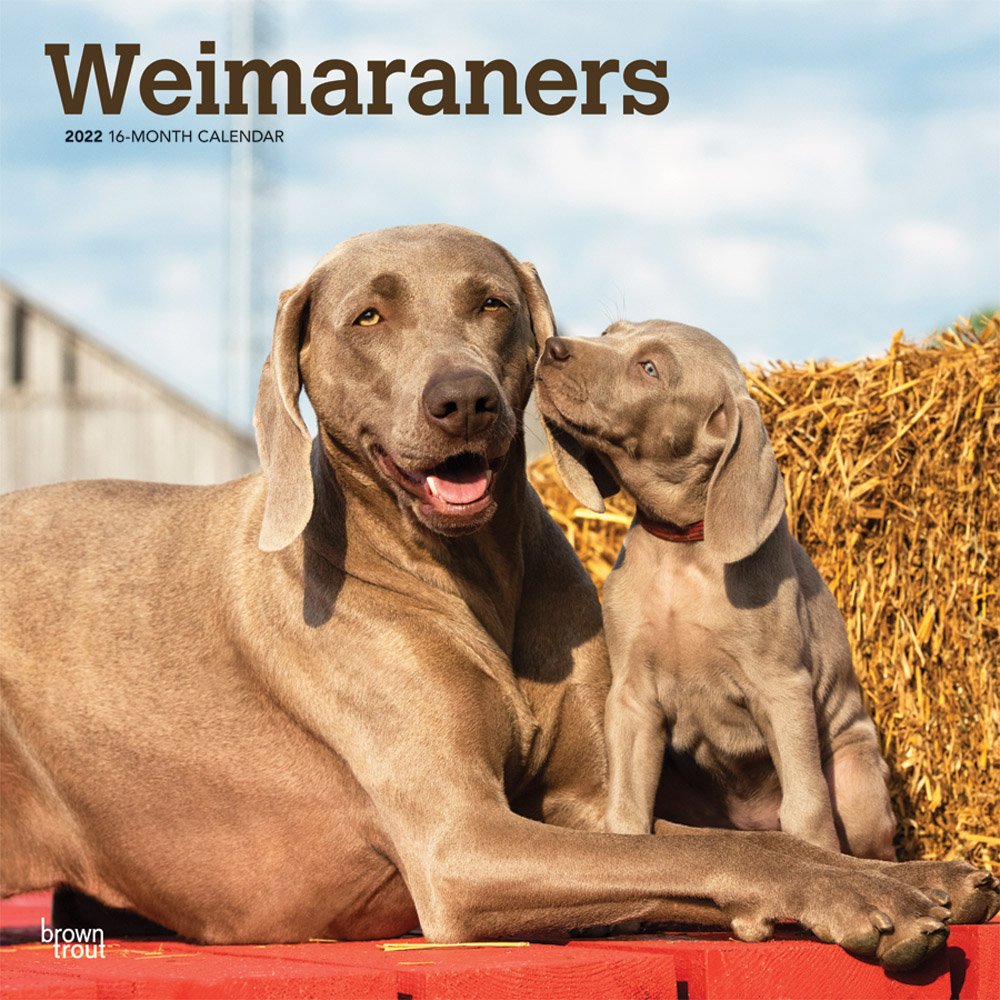 Weimaraners 2022 12 x 12 Inch Monthly Square Wall Calendar, Animals Dog Breeds DogDays