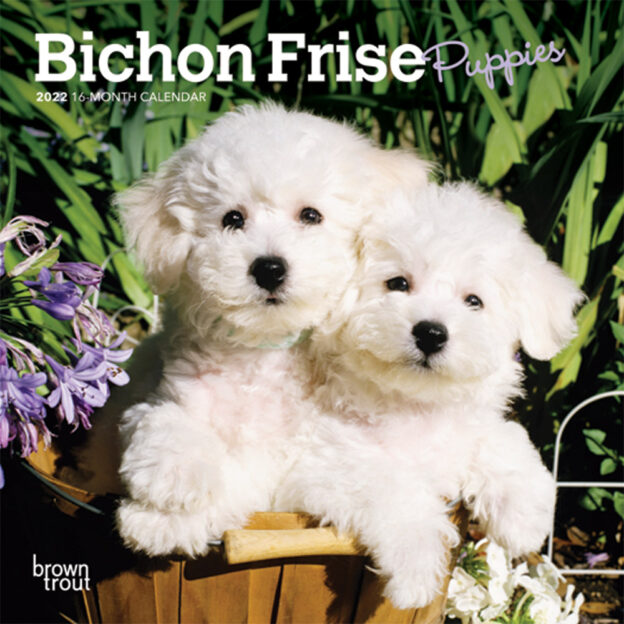 Bichon Frise Puppies 2022 7 x 7 Inch Monthly Mini Wall Calendar, Animals Dog Breeds Puppy DogDays