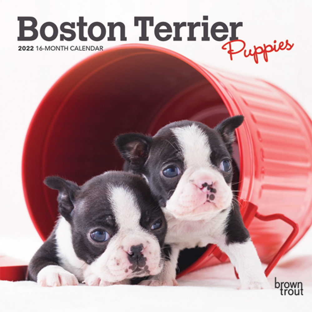 Boston Terrier Puppies 2022 7 x 7 Inch Monthly Mini Wall Calendar, Animals Dog Breeds Puppy DogDays