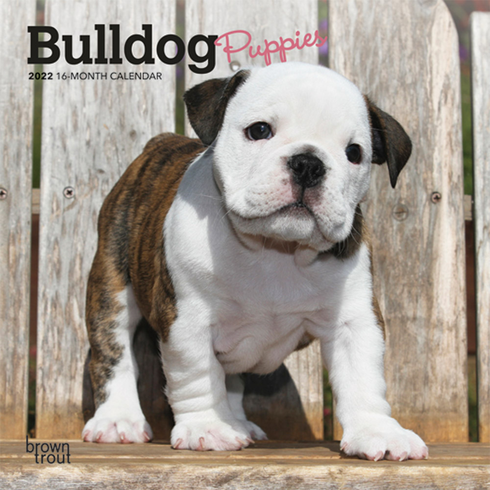 Bulldog Puppies 2022 7 x 7 Inch Monthly Mini Wall Calendar, Animals Dog Breeds Puppy DogDays