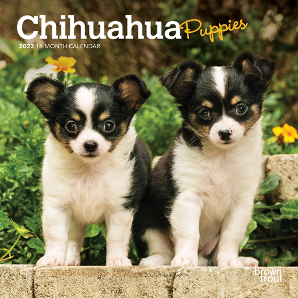 Chihuahua Puppies 2022 7 x 7 Inch Monthly Mini Wall Calendar, Animals Small Dog Breeds Puppy DogDays