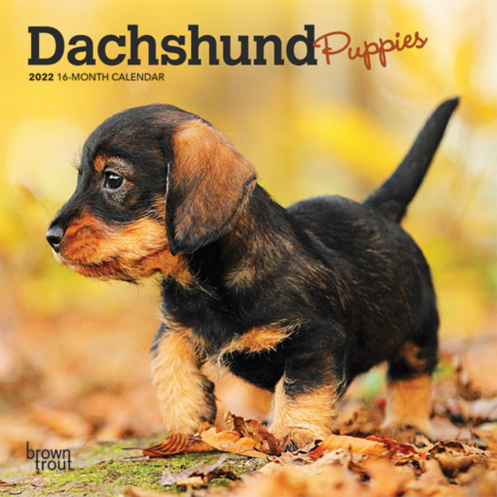 Dachshund Puppies 2022 7 x 7 Inch Monthly Mini Wall Calendar, Animals Dog Breeds Puppy DogDays