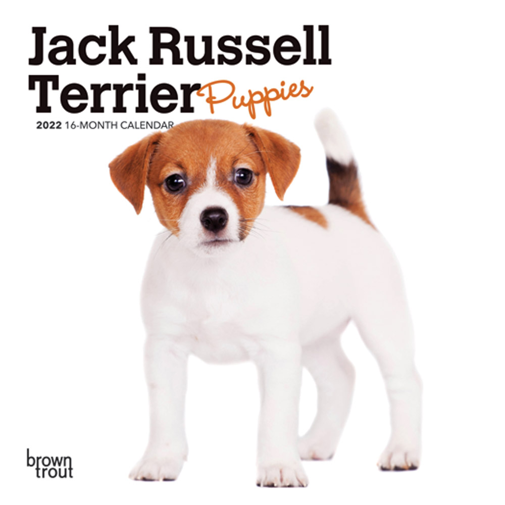 Jack Russell Terrier Puppies 2022 7 x 7 Inch Monthly Mini Wall Calendar, Animals Dog Breeds Puppy DogDays