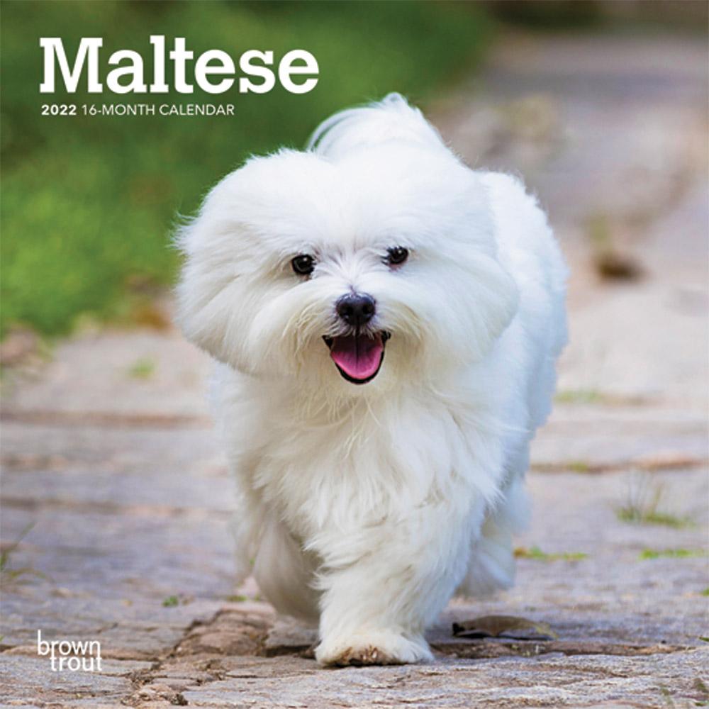 Maltese 2022 7 x 7 Inch Monthly Mini Wall Calendar, Animals Small Dog Breeds DogDays