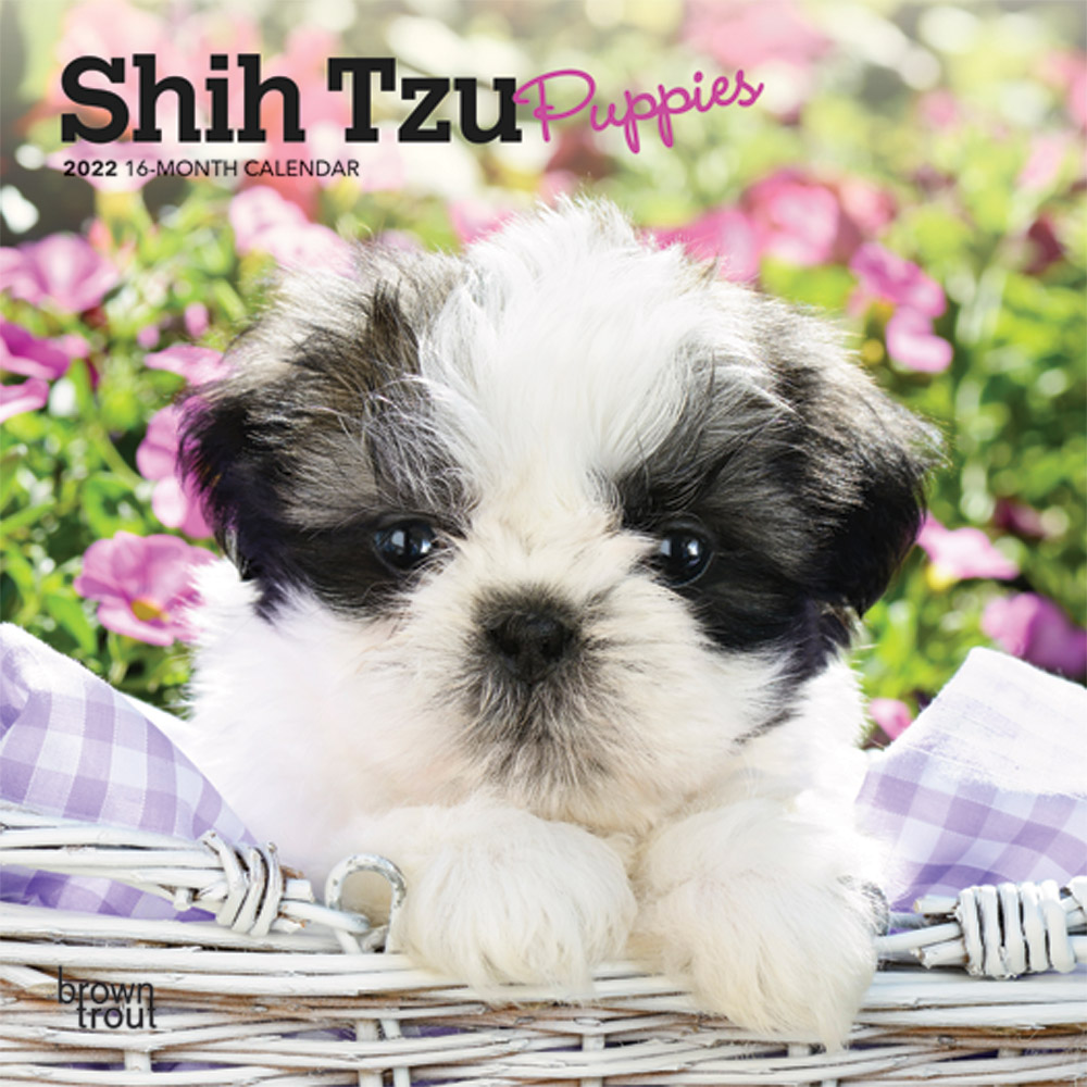 Shih Tzu Puppies 2022 7 x 7 Inch Monthly Mini Wall Calendar, Animal Small Dog Breed Puppy DogDays