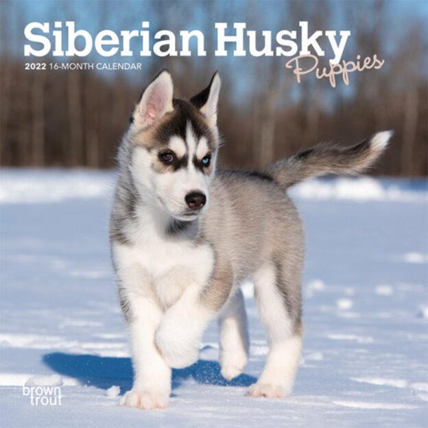 Siberian Husky Puppies 2022 7 x 7 Inch Monthly Mini Wall Calendar, Animal Dog Breeds Huskies DogDays