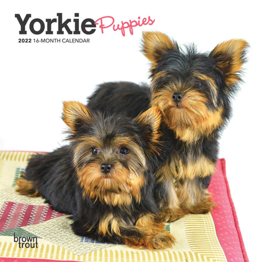Yorkie Puppies 2022 7 x 7 Inch Monthly Mini Wall Calendar, Animals Small Dog Breeds Yorkshire Terrier DogDays
