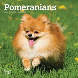 Pomeranians 2022 7 x 7 Inch Monthly Mini Wall Calendar, Animals Small Dog Breeds DogDays