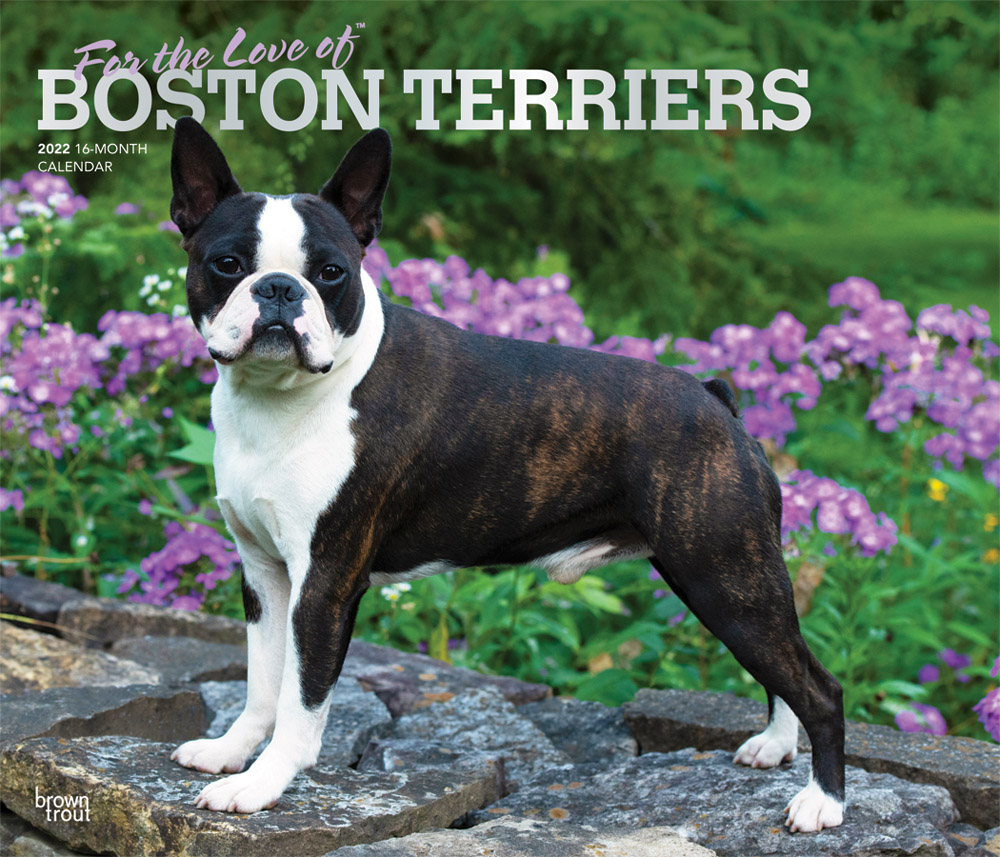 For the Love of Boston Terriers 2022 14 x 12 Inch Monthly Deluxe Wall Calendar with Foil Stamped Cover, Animal Dog Breeds DogDays