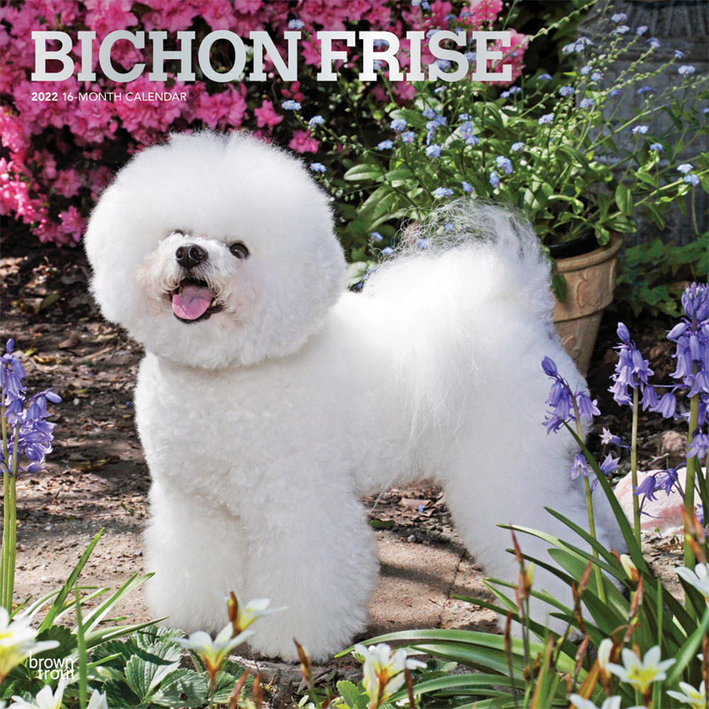 Bichon Frise 2022 12 x 12 Inch Monthly Square Wall Calendar with Foil Stamped Cover, Animals Dog Breeds DogDays
