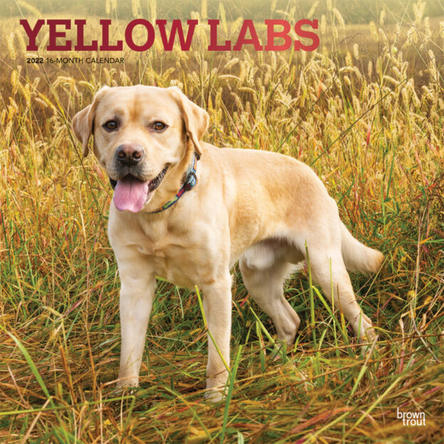Yellow Labrador Retrievers 2022 12 x 12 Inch Monthly Square Wall Calendar with Foil Stamped Cover, Animals Dog Breeds DogDays