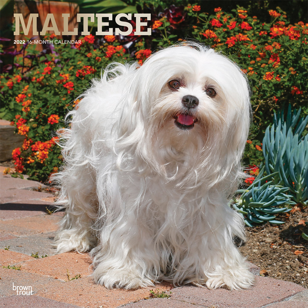 Maltese 2022 12 x 12 Inch Monthly Square Wall Calendar with Foil Stamped Cover, Animals Small Dog Breeds DogDays