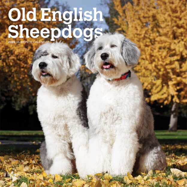 Old English Sheepdogs 2022 12 x 12 Inch Monthly Square Wall Calendar, Animals Dog Breeds DogDays