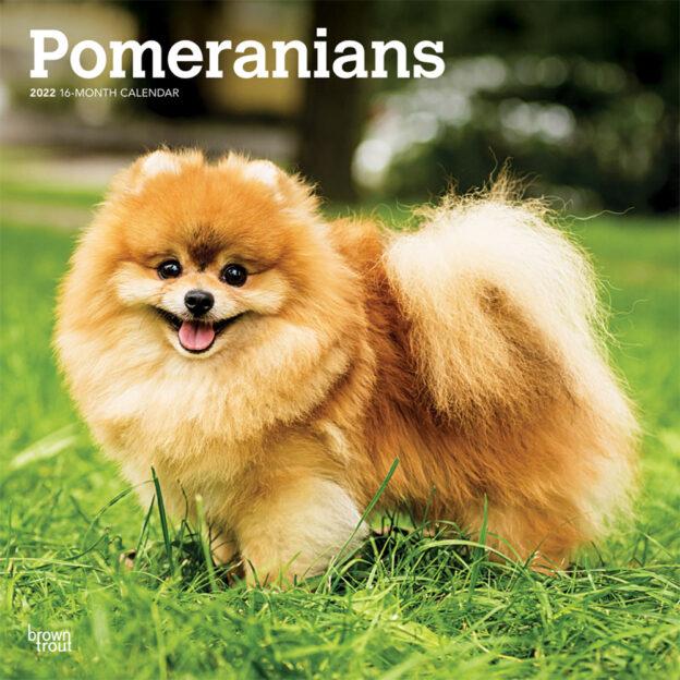 Pomeranians 2022 12 x 12 Inch Monthly Square Wall Calendar, Animals Small Dog Breeds DogDays