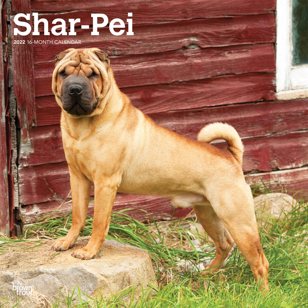 Shar Pei 2022 12 x 12 Inch Monthly Square Wall Calendar, Animals Dog Breeds DogDays