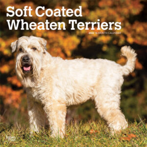 Soft Coated Wheaten Terriers 2022 12 x 12 Inch Monthly Square Wall Calendar, Animals Dog Breeds DogDays
