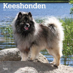 Keeshonden 2022 12 x 12 Inch Monthly Square Wall Calendar, Animals Dog Breeds DogDays