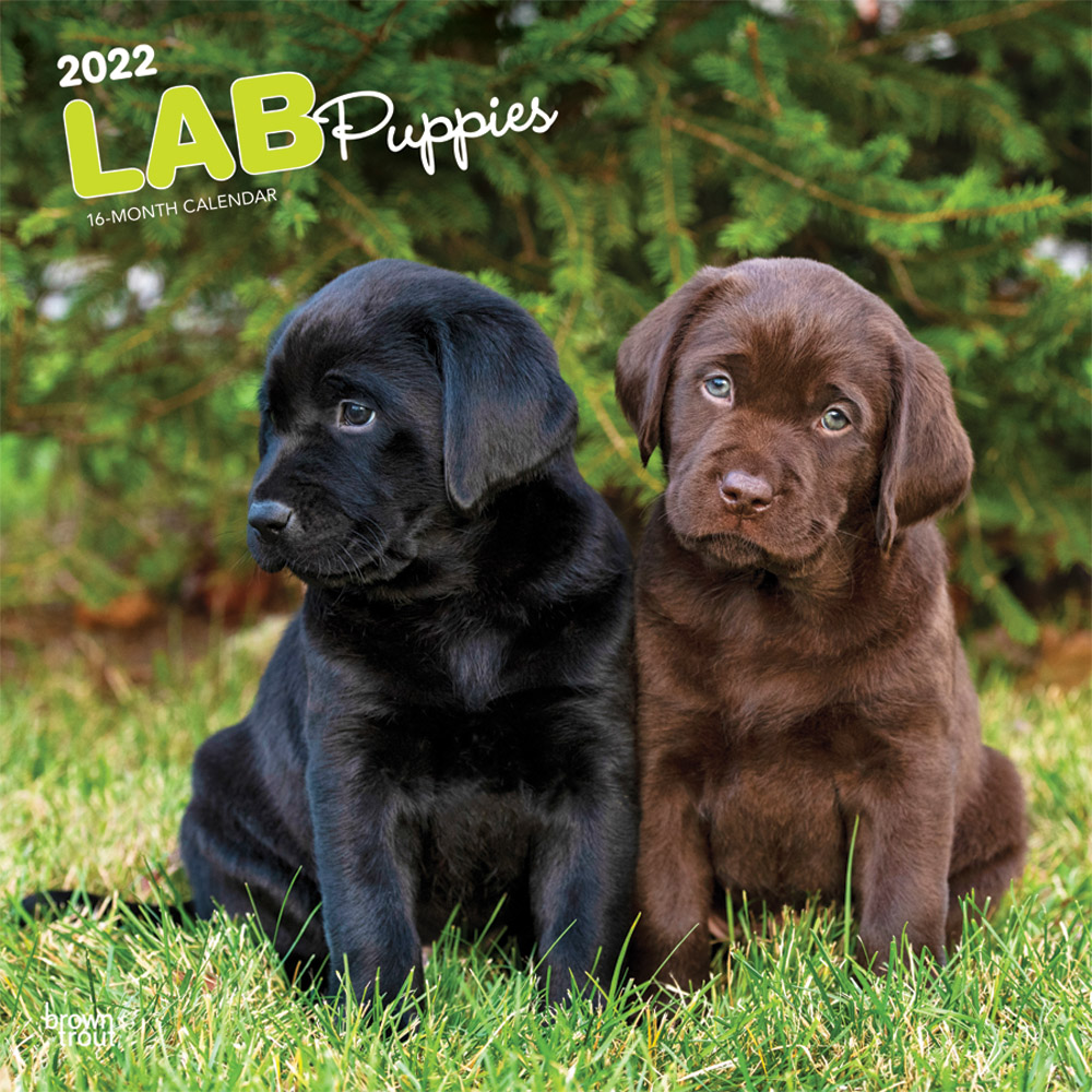 Lab Puppies 2022 12 x 12 Inch Monthly Square Wall Calendar, Animals Dog Breeds Retriever DogDays