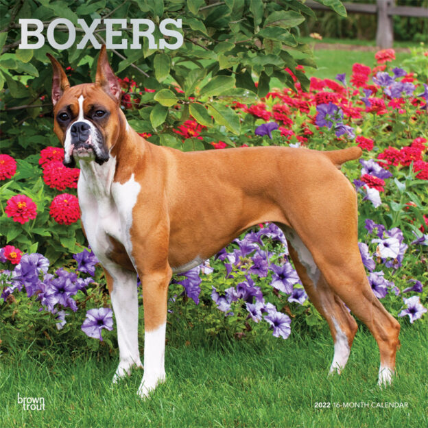 Boxers 2022 12 x 12 Inch Monthly Square Wall Calendar with Foil Stamped Cover, Animals Dog Breeds DogDays