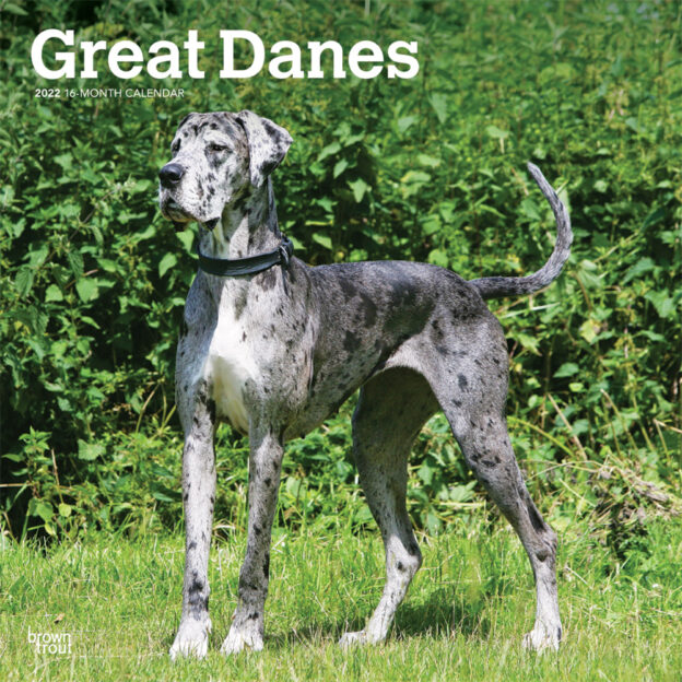 Great Danes International Edition 2022 12 x 12 Inch Monthly Square Wall Calendar, Animals Dog Breeds DogDays