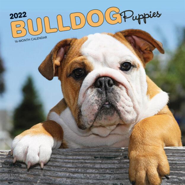 Bulldog Puppies 2022 12 x 12 Inch Monthly Square Wall Calendar, Animals Dog Breeds DogDays