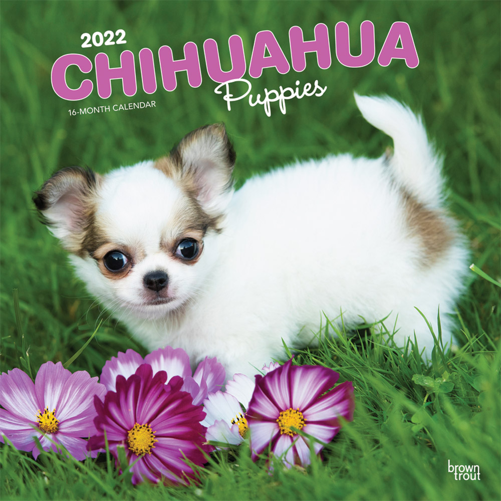 Chihuahua Puppies 2022 12 x 12 Inch Monthly Square Wall Calendar, Animals Small Dog Breeds DogDays