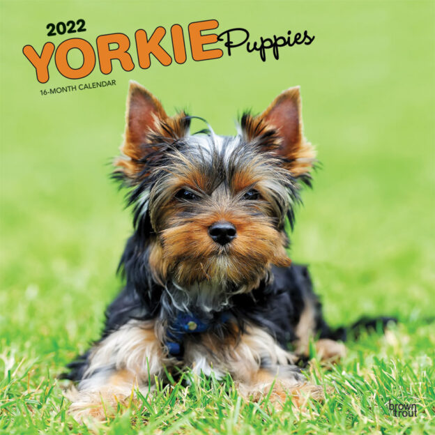 Yorkie Puppies 2022 12 x 12 Inch Monthly Square Wall Calendar with Foil Stamped Cover, Animals Small Dog Breeds Yorkshire Terriers DogDays